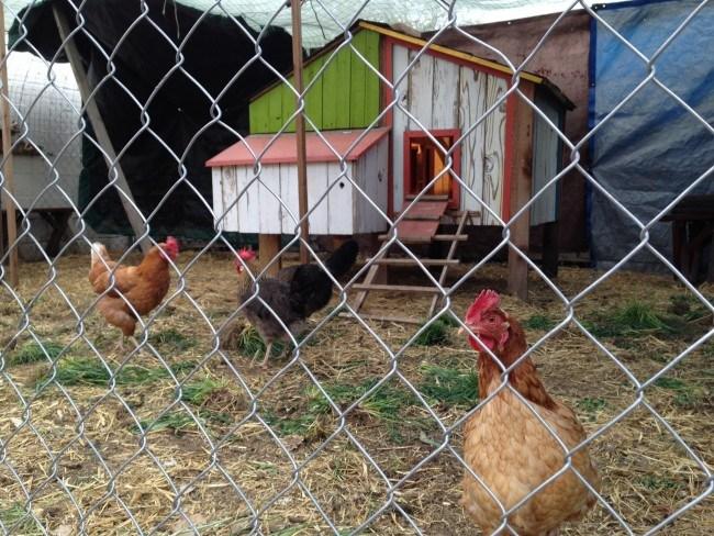 the-garden-chickens